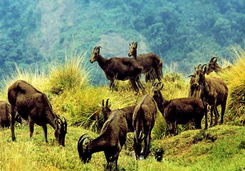 Eravikulam-National-Park-my-info-adda